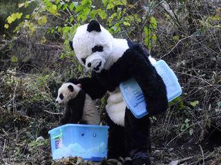 مراقبت از پانداها در کوه های چین