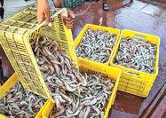 رشد 55 درصدی صادرات میگو از استان گلستان