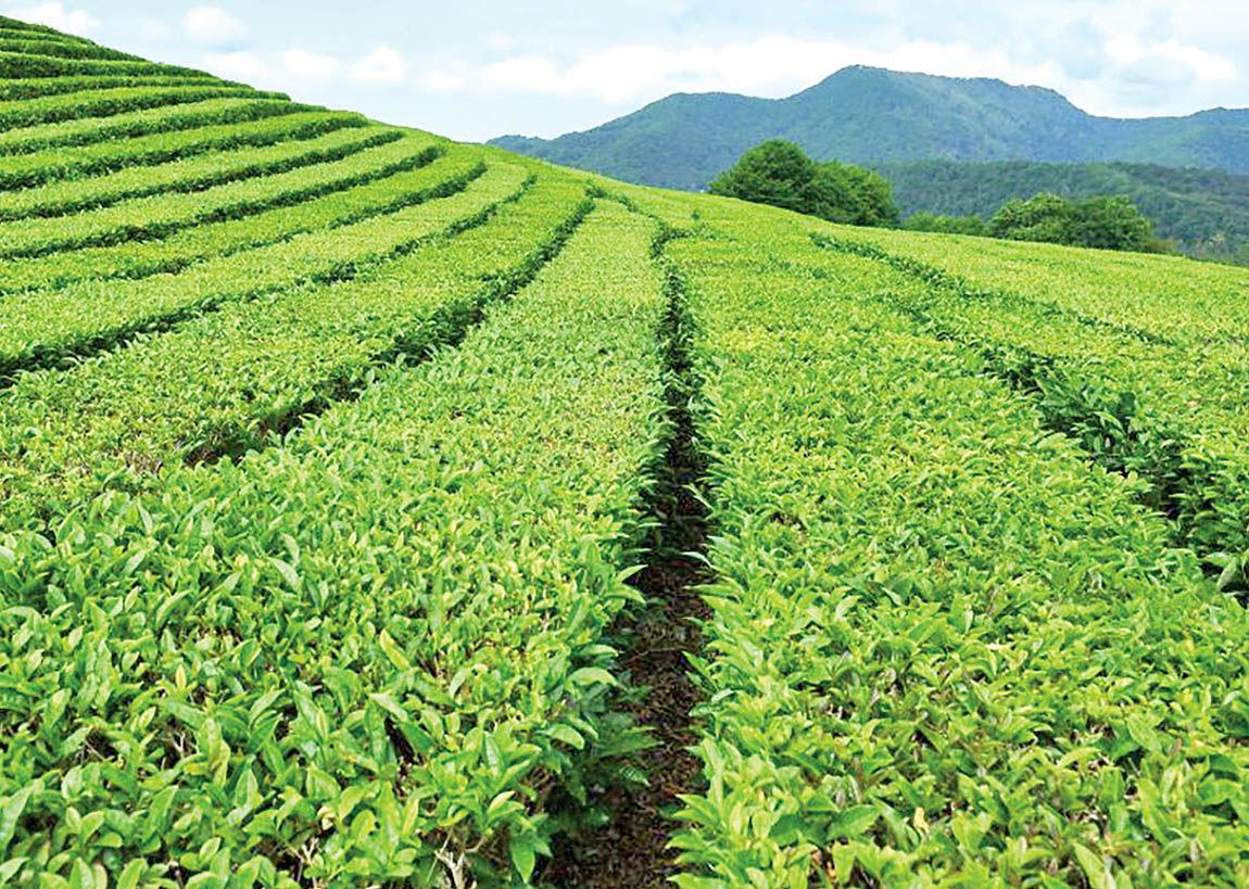 داستان قیمتها در بازار چای
