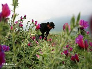 دشت گل گاوزبان